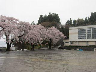伐採される桜_s.jpg